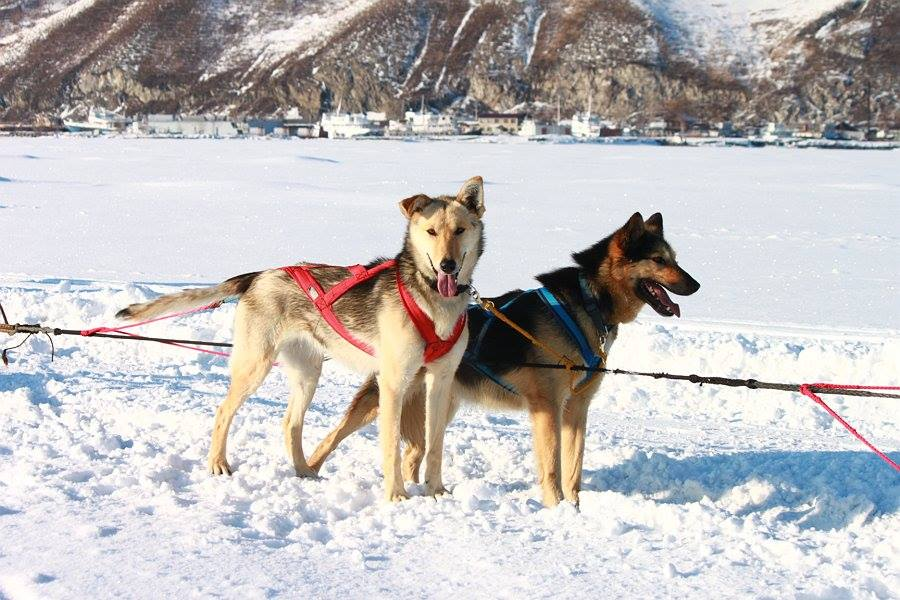 Dog sledding lake baikal ice winter tour