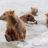 Kamchatka Tour brown bears