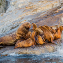 Kamchatka sea lions