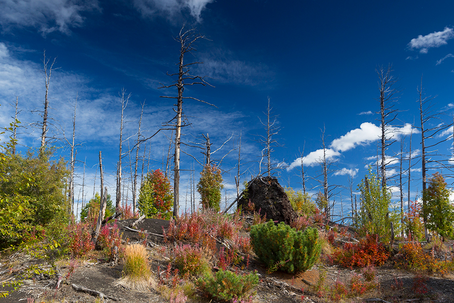 Kamchatka dead forest