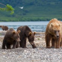Kamchatka tour volcanoes bears Siberia Russia