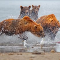 Kamchatka bears tour Kuril Lake