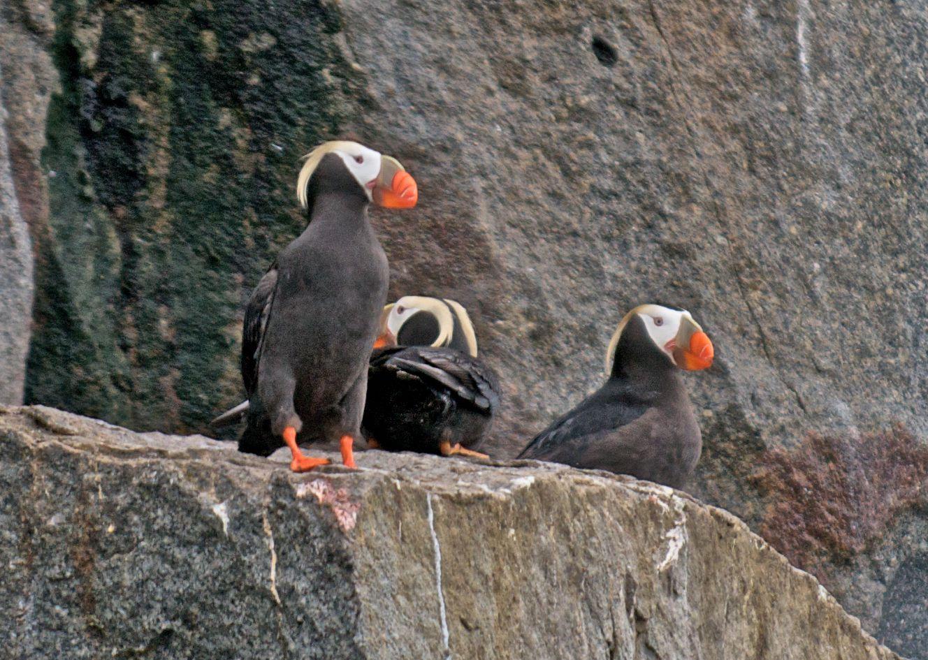Wrangel Island Penguins