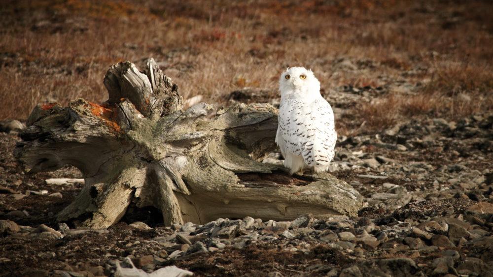 Wrangel Island Owls