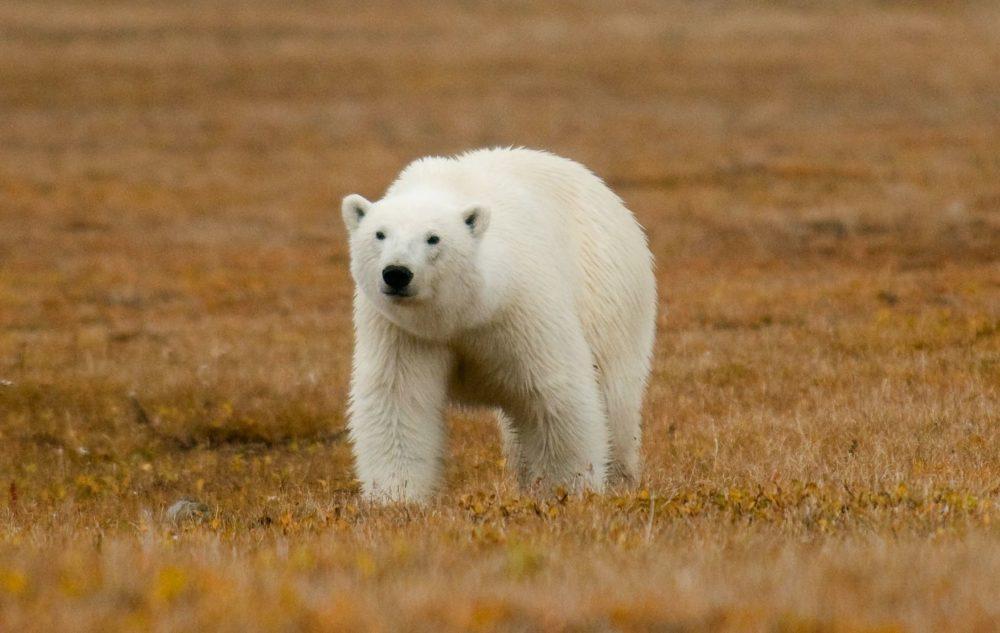 Wrangel Island Wildlife