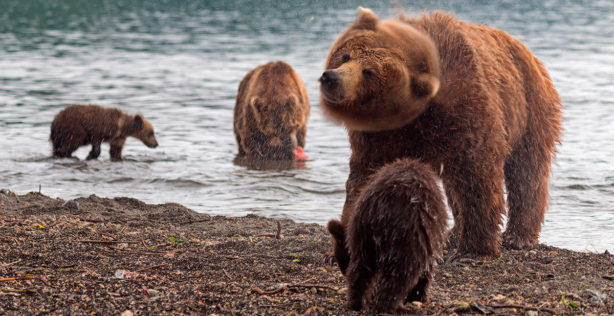 Kamchatka Brown bears