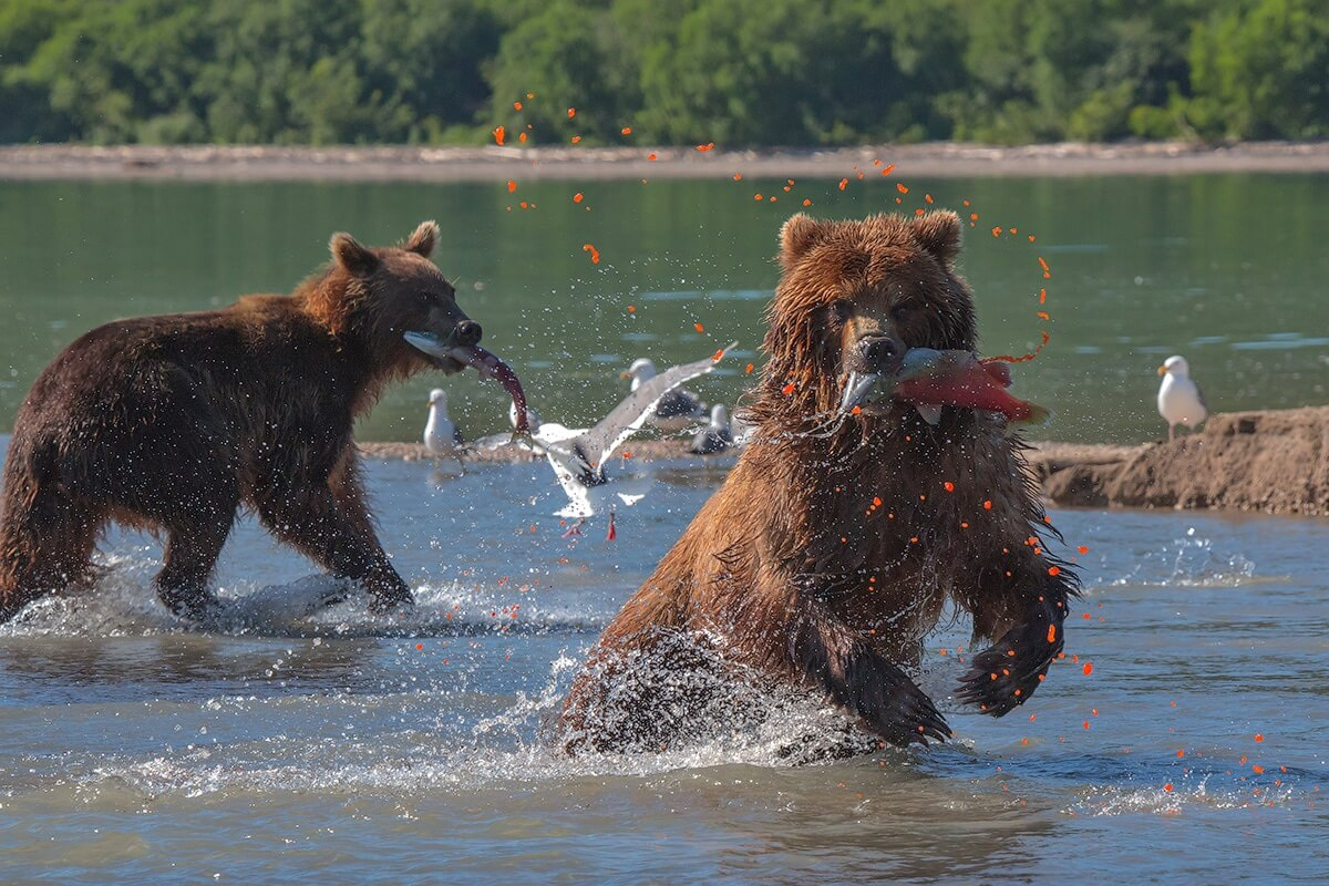 Kamchatka Bears, Kamchatka photography tour
