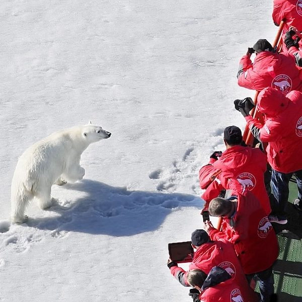 Polar bear, north pole cruise, Russia tour